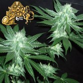 Italian Ice (Cali Connection) feminized