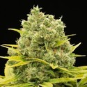 Dinamed CBD Plus (Dinafem) Feminized
