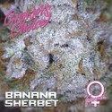 Banana Sherbet (Growers Choice) feminisiert