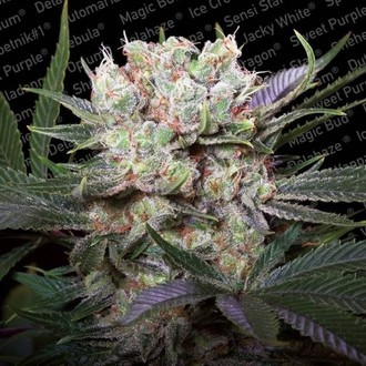 Californian Gold (Paradise Seeds) Feminized