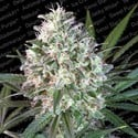 Space Cookies (Paradise Seeds) feminized