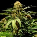 Bullshark (Bulldog Seeds) feminized