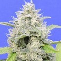 Zkittzy Gorilla (Original Sensible) Feminized