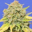 Zkittlez (Original Sensible) Feminized