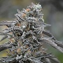 Black D.O.G. (Humboldt Seeds) Feminized