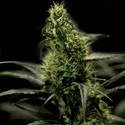 Energy Haze (Bulldog Seeds) feminized