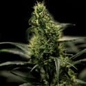 Energy Haze (Bulldog Seeds) femminizzato