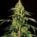 Jack Herer (Bulldog Seeds) feminized