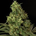 Bubblegum Kush (Bulldog Seeds) feminized