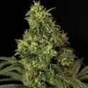 Northern Light (Bulldog Seeds) feminized