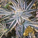 Fruit Tree (Cali Connection) feminized