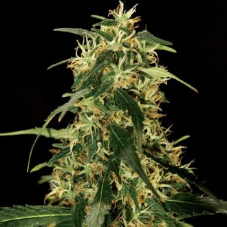 Silver Star Haze (Bulldog Seeds) femminizzato