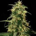 Silver Star Haze (Bulldog Seeds) feminisiert