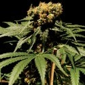 The Bulldog Chronic (Bulldog Seeds) feminized