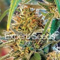 California Orange (Expert Seeds) Femminizzata