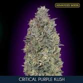 Critical Purple Kush (Advanced Seeds) feminized