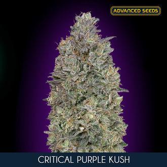 Critical Purple Kush (Advanced Seeds) feminisiert