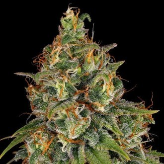 Strawberry AKeil (Serious Seeds) feminized