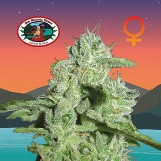 California Orange Cheese (Big Buddha Seeds) feminisiert