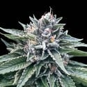 Sorbet 4 (DNA Genetics) feminized