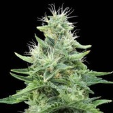 Gorilla Candy (Eva Seeds) feminized