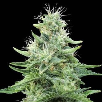 Gorilla Candy (Eva Seeds) feminized