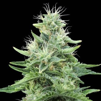 Gorilla Candy (Eva Seeds) Femminizzata