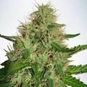 Cannabis Light (Ministry of Cannabis) feminisiert