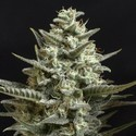 Sweet Bilbo (Genehtik Seeds) feminized