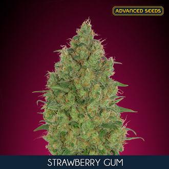 Strawberry Gum (Advanced Seeds) feminized