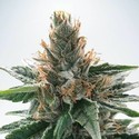 God's Glue (Ministry Of Cannabis) feminisiert