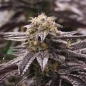 OGKZ (Humboldt Seeds) feminisiert