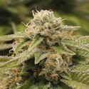 Gorilla Breath (Humboldt Seeds) feminized