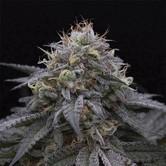 Sugar Breath (Humboldt Seeds) femminizzata