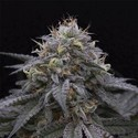 Sugar Breath (Humboldt Seeds) feminisiert