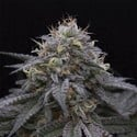 Sugar Breath (Humboldt Seeds) feminized