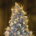 Blue Fire (Humboldt Seeds) feminized