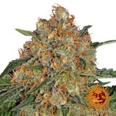 Orange Sherbert (Barney's Farm) femminizzata