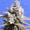 Gelato (Original Sensible) feminized