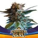 Gorilla Glue Auto (BSF Seeds) feminisiert