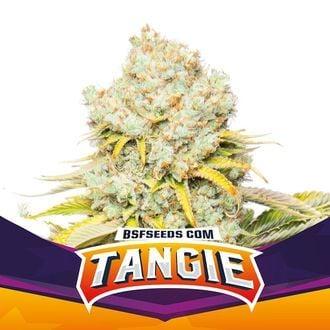Tangie (BSF Seeds) feminisiert
