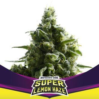 Super Lemon Haze (BSF Seeds) feminisiert