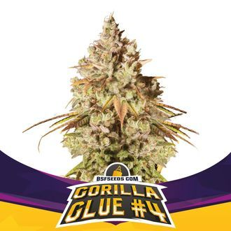Gorilla Glue 4 (BSF Seeds) Feminized
