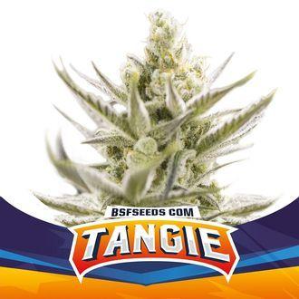 Tangie XXL Auto (BSF Seeds) feminisiert