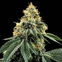 Kosher Dawg (DNA Genetics) feminisiert