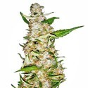 Skunk 1 Automatic (White Label) feminized