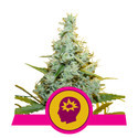 AMG (Royal Queen Seeds) feminized