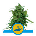 Solomatic CBD (Royal Queen Seeds) feminisiert