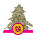 Sweet Zkittlez (Royal Queen Seeds) femminizzata