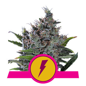 North Thunderfuck (Royal Queen Seeds) Femminizzata